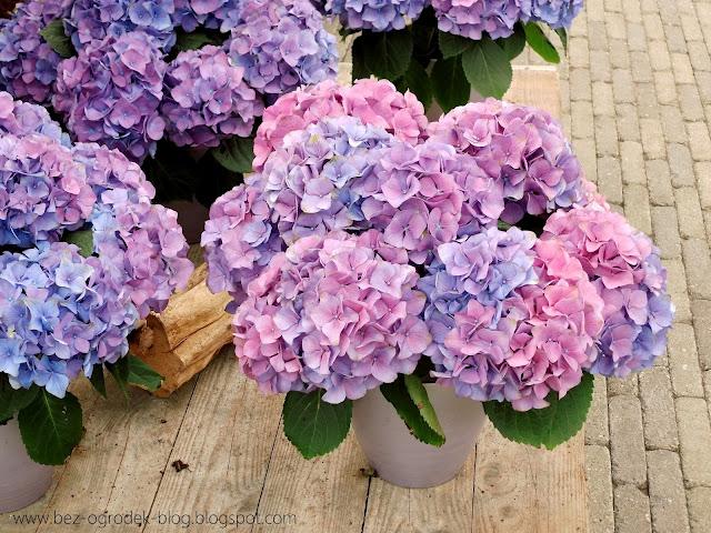 niebieskie hortensje ogrodowe zmieniają barwę