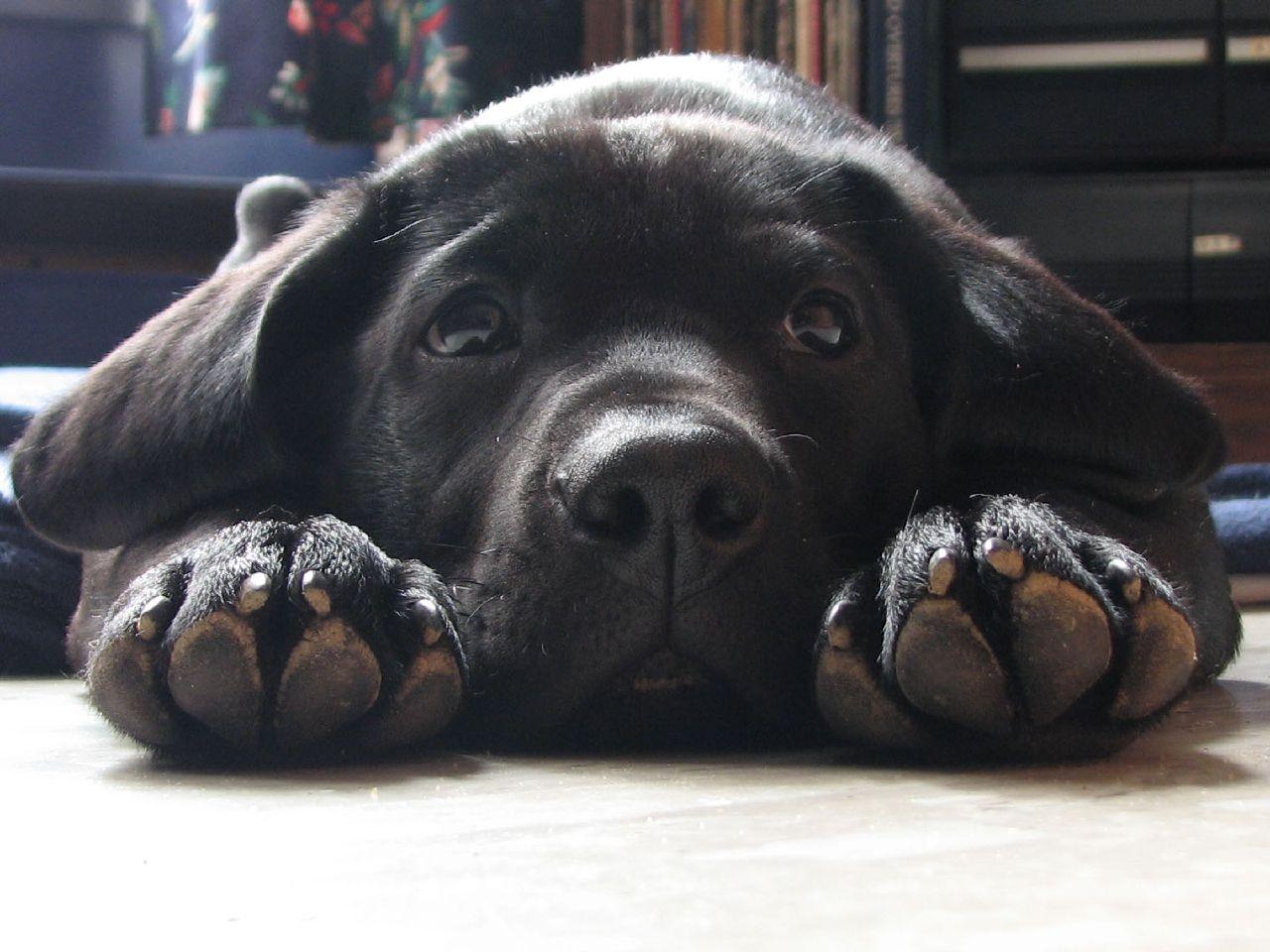 cute dogs cute black labrador retriever. Black Bedroom Furniture Sets. Home Design Ideas