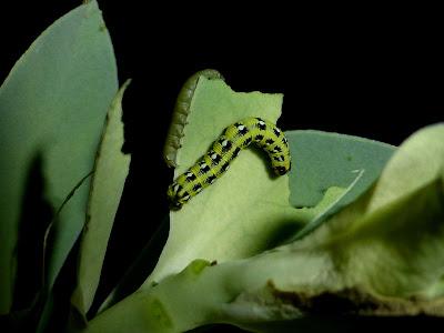 Hyles euphorbiae caterpillar