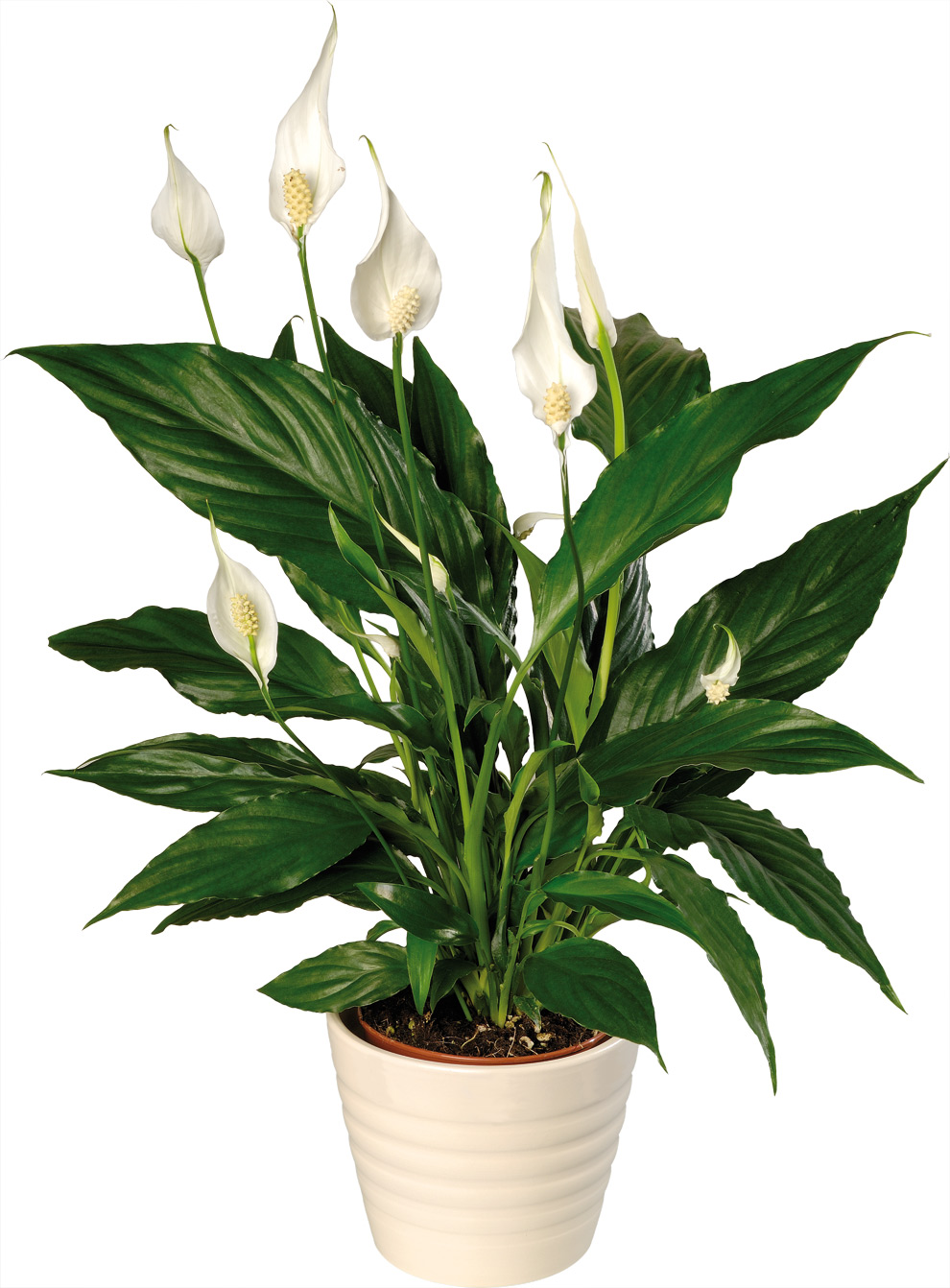 10 plants for your bathroom the grey home for Peace lily in bathroom