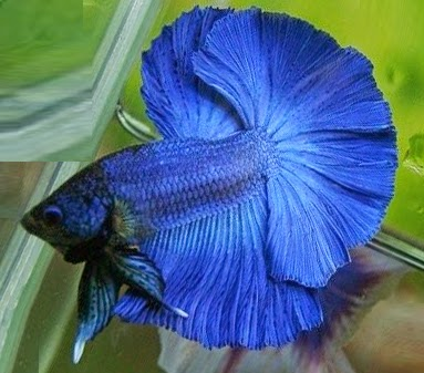 betta blue fullmak