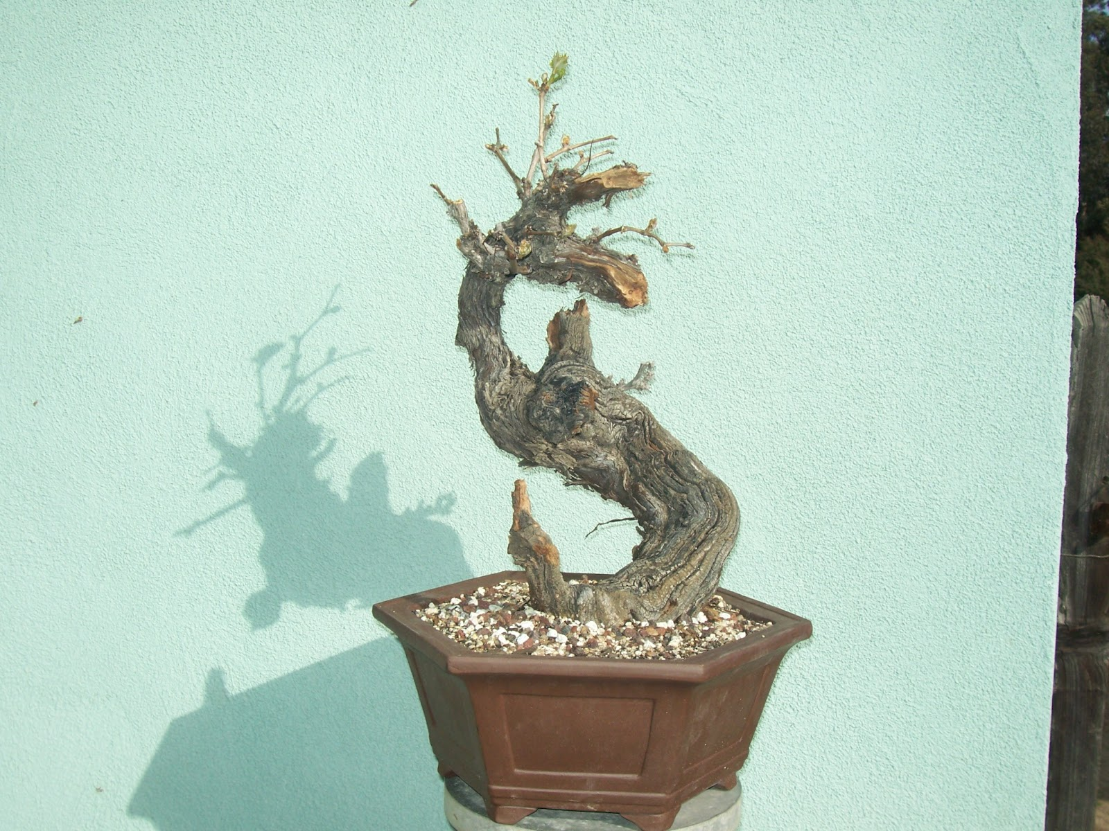 What39s Happening At Muranaka Bonsai Nursery Grape Bonsai