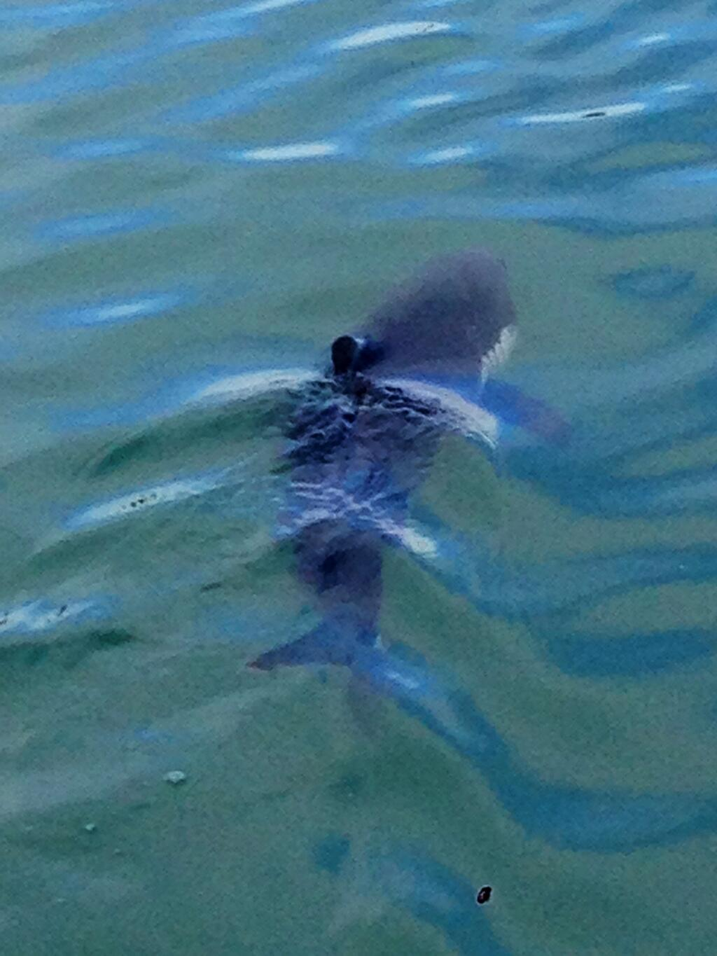 Great White Sharks In The San Francisco Bay Ocean