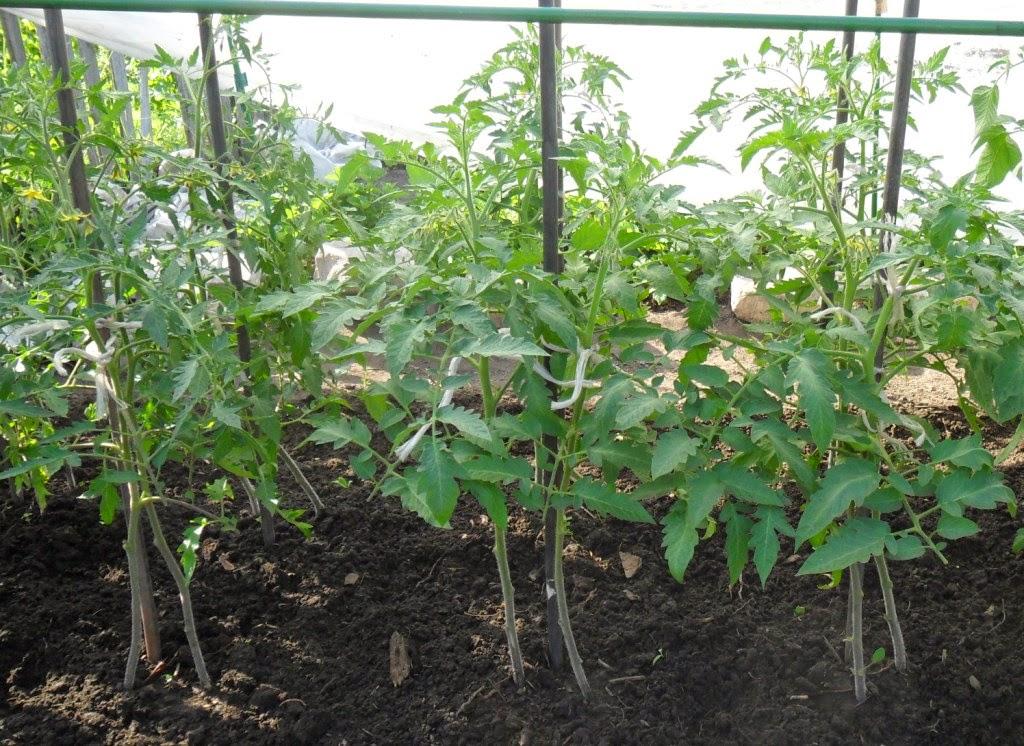 Индетерминантные помидоры посажены по два растения в лунку