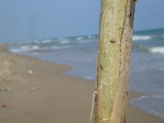 Sea behind cane field - Punta de La Banya