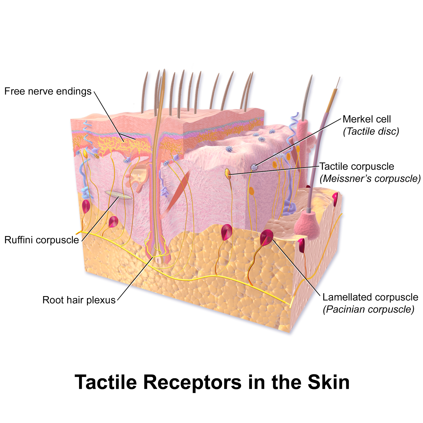 The Most Light Sensitive Receptor Cells Are The 7 Best