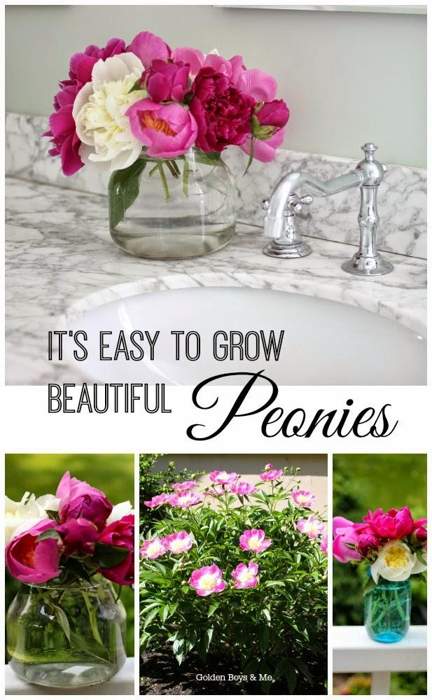 growing peonies-www.goldenboysandme.com