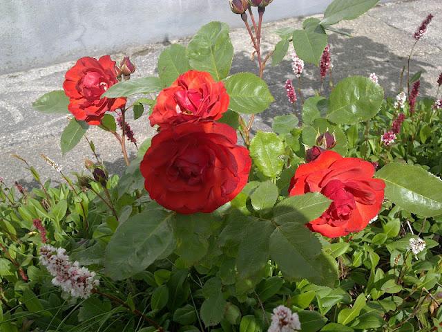 roser til bed