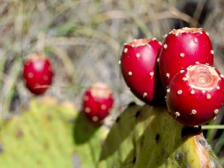 Pear Cactus