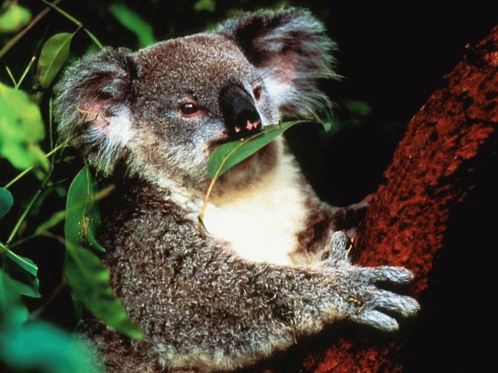 Koala Eating | Car Interior Design
