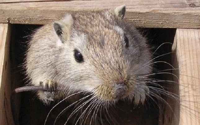 'Gerbils replace rats' as main cause of Black Death