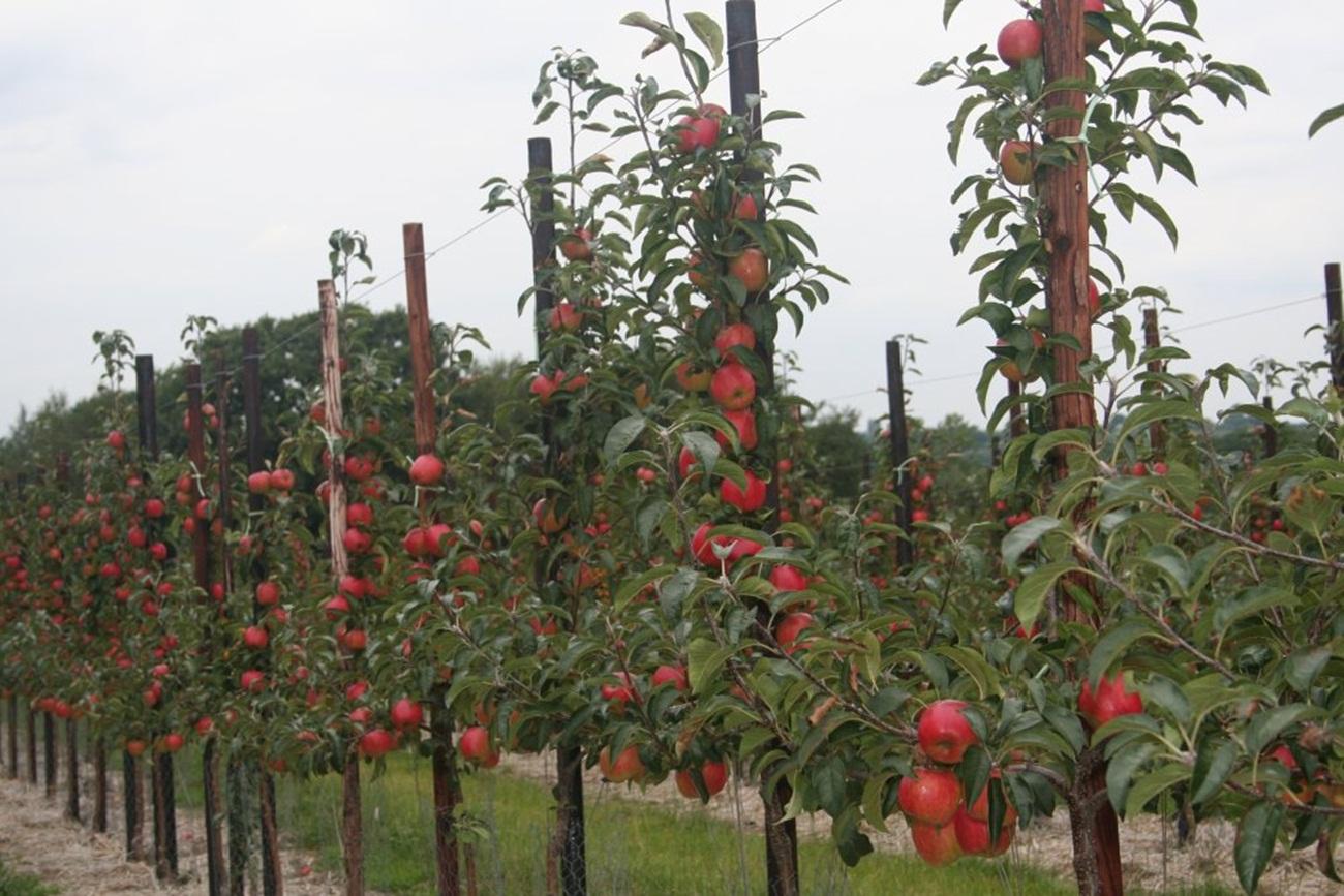 Saksılı,tüplü bodur meyve fidanları