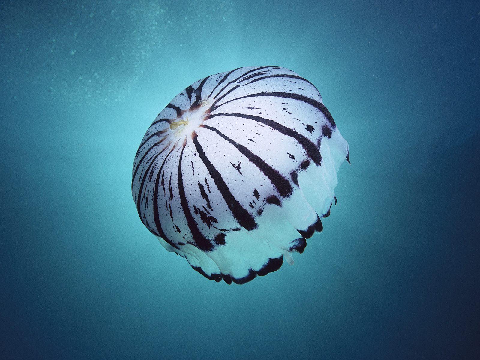 http://1.bp.blogspot.com/-Jat3IbFQDkU/UR08ix8nshI/AAAAAAAAAF4/FsE6aPZxqnU/s1600/Purple-Striped+Jellyfish,+Southern+California.jpg