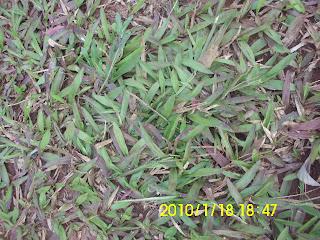 rumput gajah paetan atau rumput gajah babat