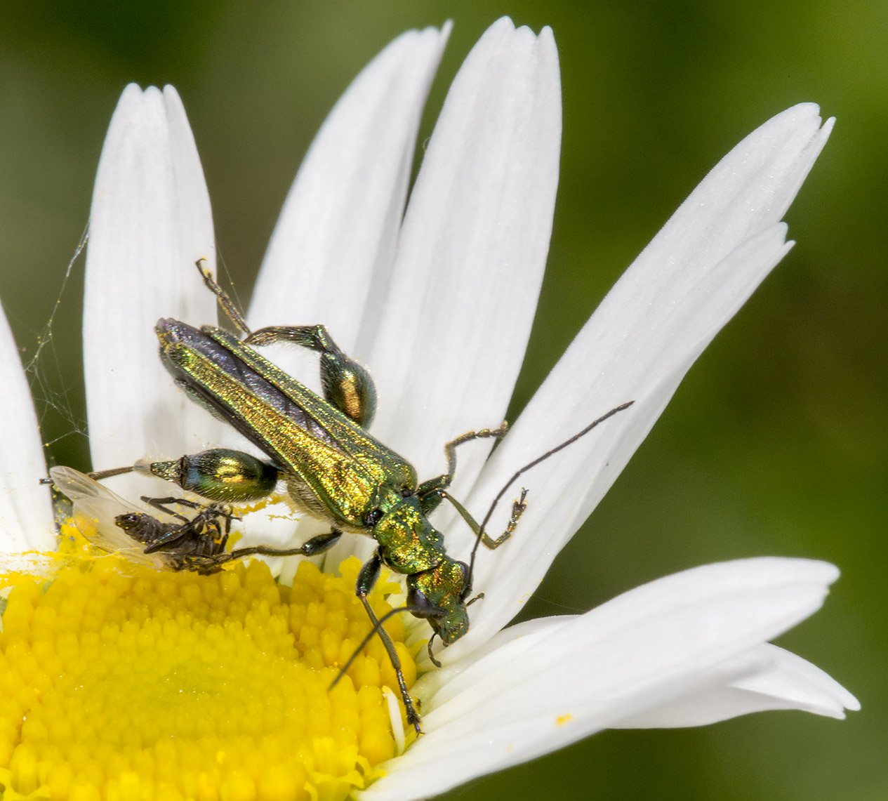 Oedemera nobilis.  Male.  High Elms Country Park, 25 May 2014.
