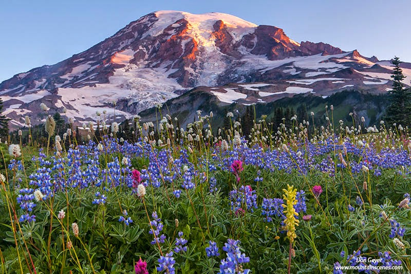 Early light on Mount Rainier above flower meadows on Mazama Ridge in Mount Rainier National Park, Cascade Range, Washington, USA.