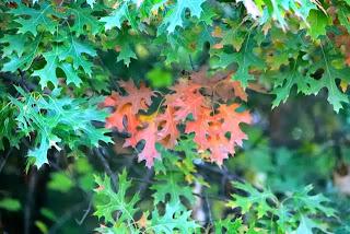 photo of maroon oak leaves