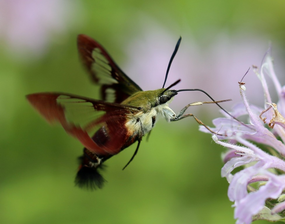What insect looks like a hummingbird 11