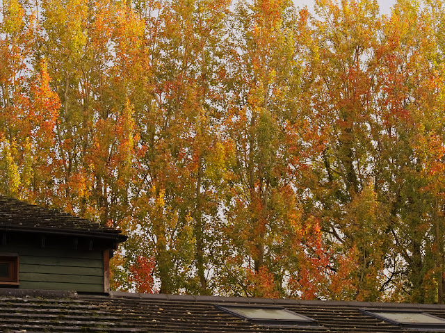 Poplar trees behind visitor centre with yellow, red and green leaves