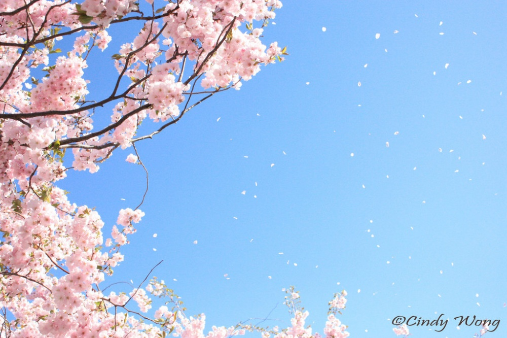 In Japan sakura blossomed