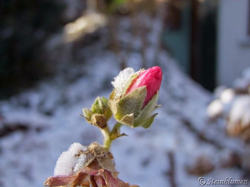 stockrose im schnee