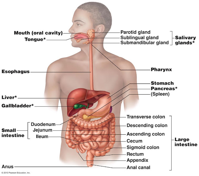 Liver enzymes digestive system