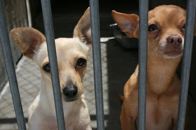 chihuahua-dogs-for-adoption
