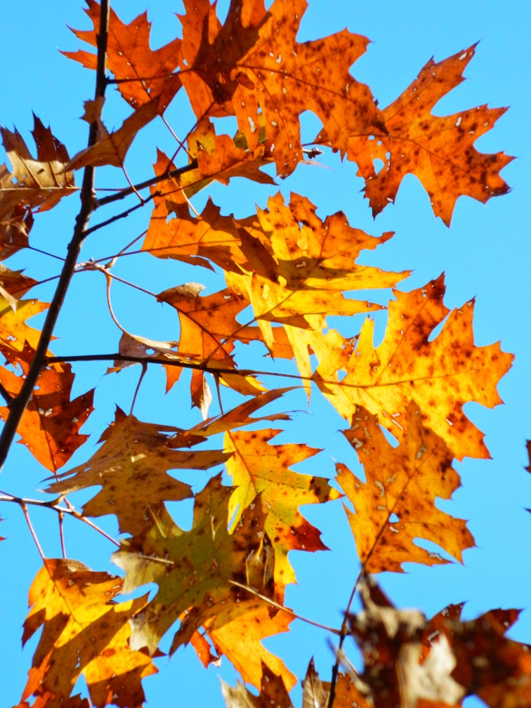 Northern Red Oak Quercus rubra fall foliage Taylor Creek Park by garden muses-not another Toronto gardening blog