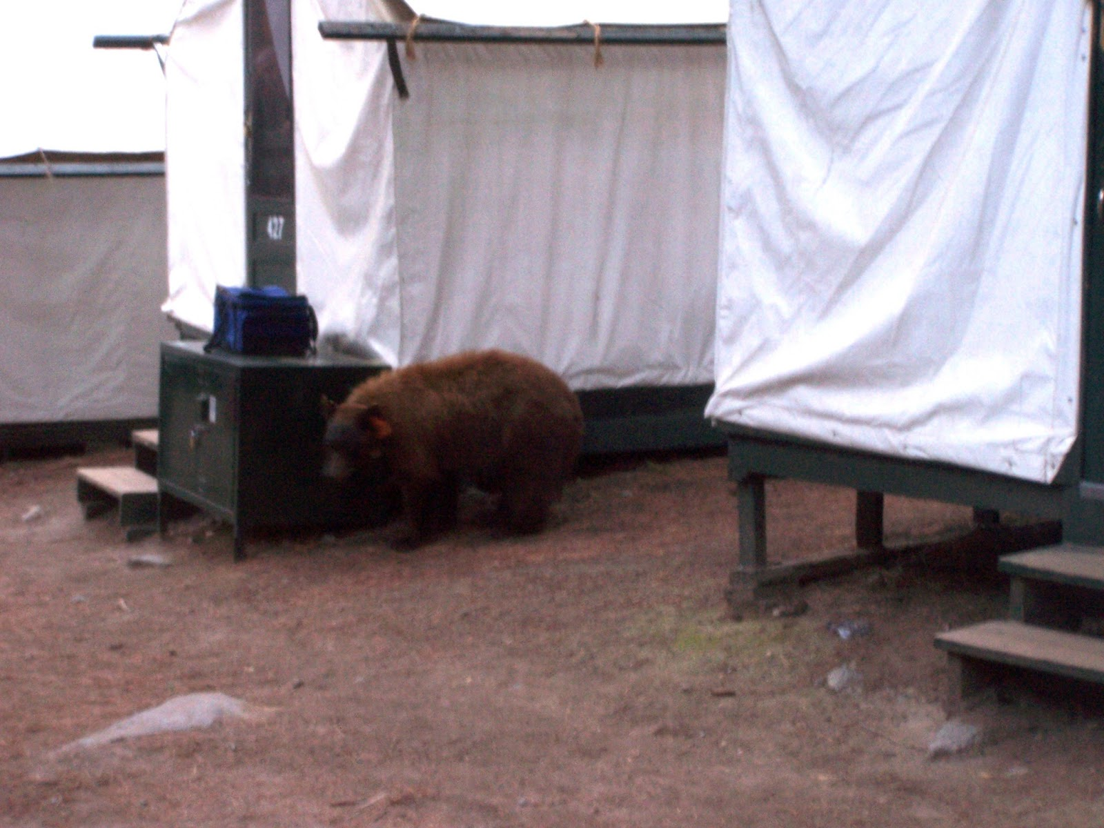 A Slightly Fuzzy Picture Of A Brown Morph Black Bear Right Outside Of Our  Tent Cabin In Yosemite! Photo Credit: Julie Neher