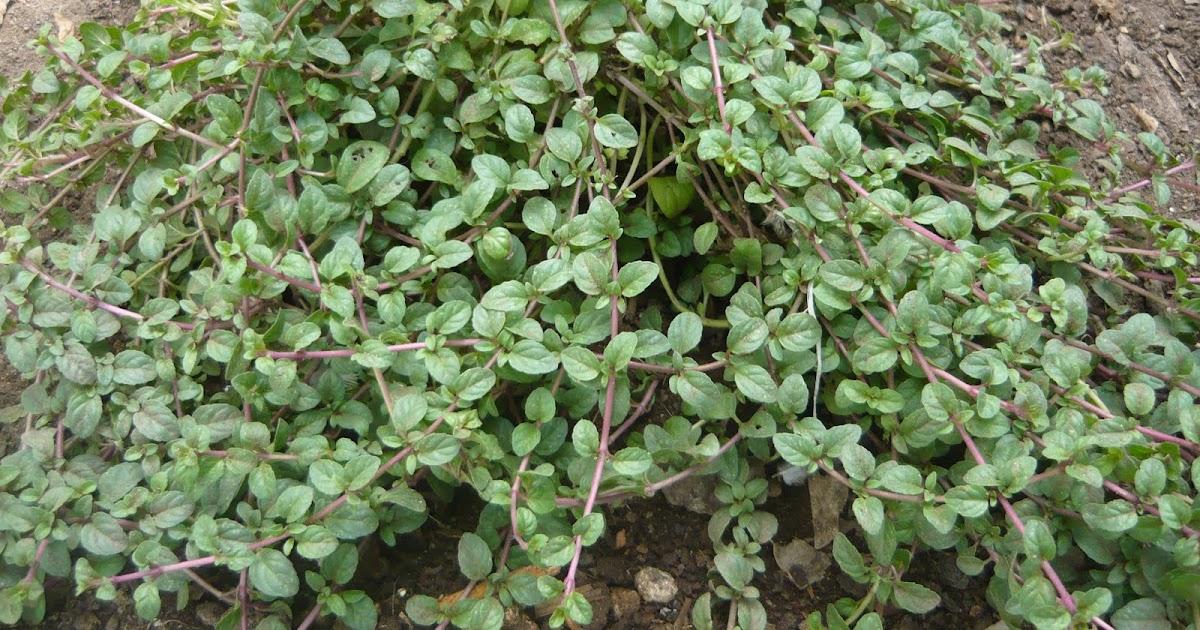 Alternativa ecol gica cultivo de hierbas arom ticas y for Hierbas aromaticas y medicinales