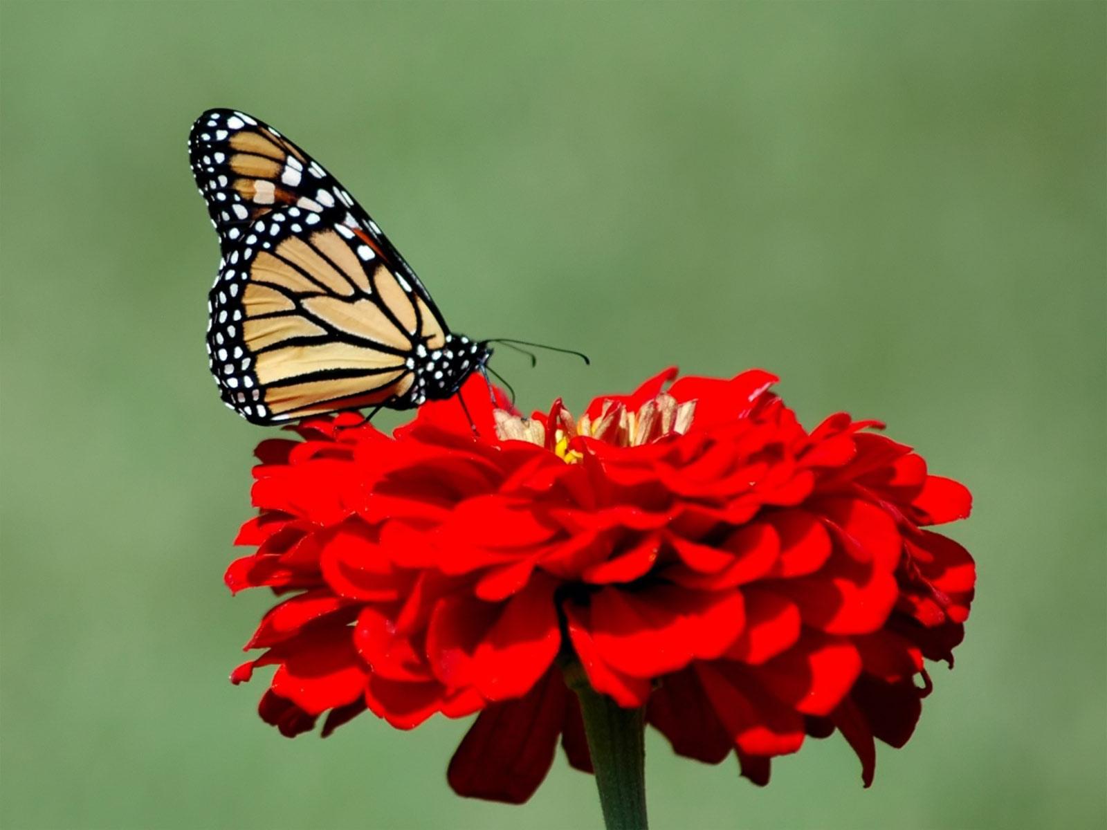 Free hd desktop wallpapers for Butterfly in a flower