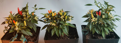 piri piri Pflanzen