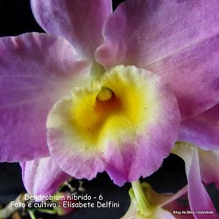 Dendrobium nobile, Orquidea Olho de Boneca