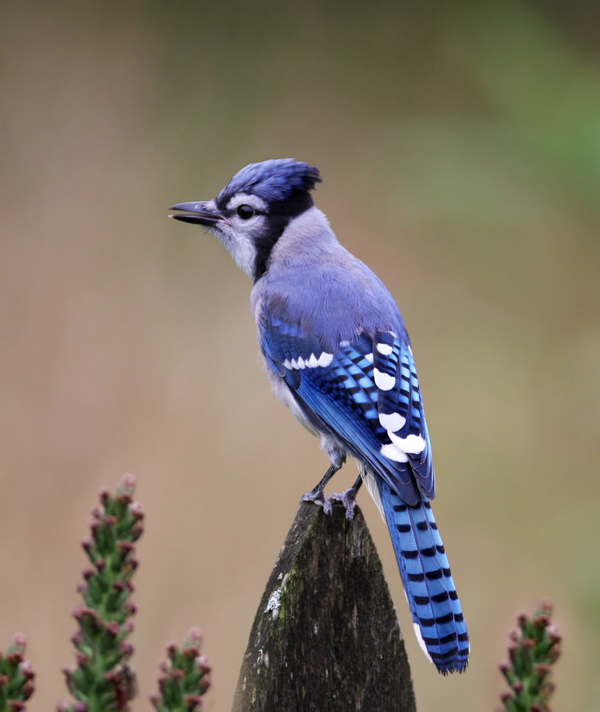 Displaying 19> Images For - Blue Jay Birds Flying...
