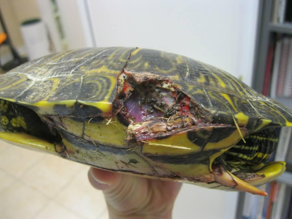 allevamento amatoriale tartarughe acquatiche dalle