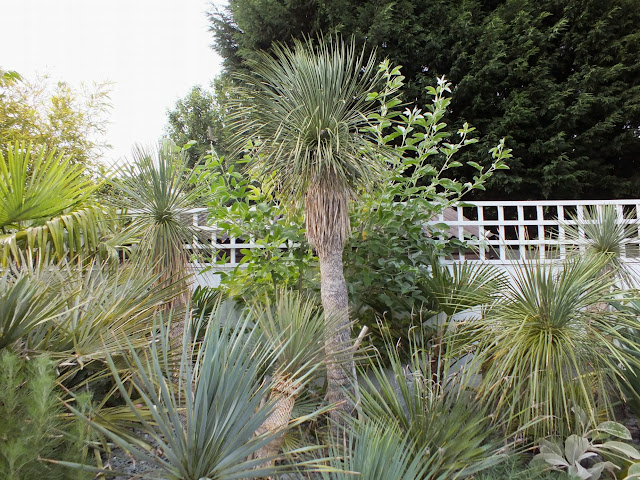 Yucca linearifolia - there are five of them in this photo