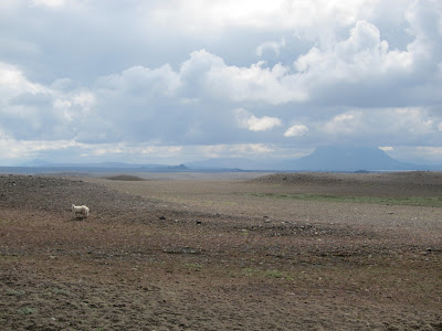 Lone Sheep in the Desert, Iceland
