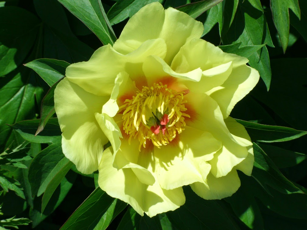 Bartzella Intersectional Itoh Peony Paeonia x Bartzella Toronto Botanical Garden by garden muses-not another Toronto gardening blog