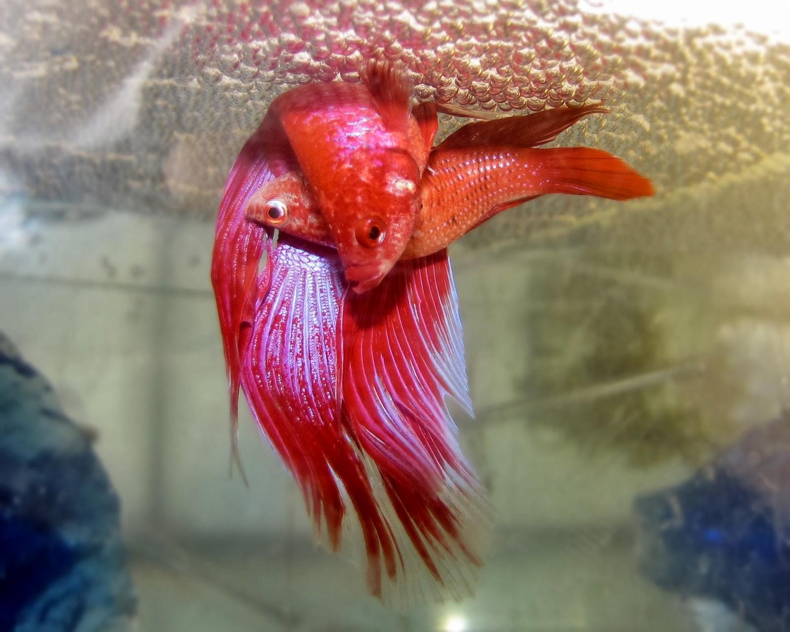 Daniel (Ibbe);: Betta: The Siamese Fighting Fish