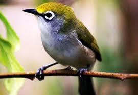 Burung Pleci yang bagus