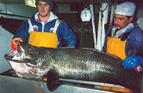 big fishes of the world patagonia toothfish dissostichus