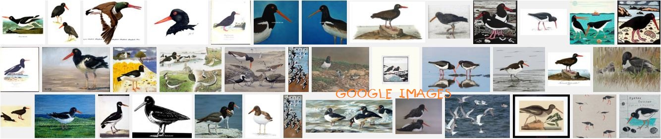 OYSTER-CATCHER SURVIVAL