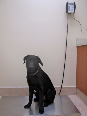 Seven month old black lab puppy Romero is sitting on the metal platform of a vet clinic scale, raised about an inch or two from the floor. He is looking forward but with his body facing slightly to the left. He has a gentle face, his dark brown eyes looking pleadingly into the camera. His head is slightly tilted and his right ear rests against his head while his left ear is slightly folded back and sticks out to the side. He is wearing a collar patterned with blue and gray squares. To the right of the picture is a wood-paneled counter, and Romero is now about 3/4 of the height of it. The scale's display is mounted on the wall well above the counter, and it reads 54.6.