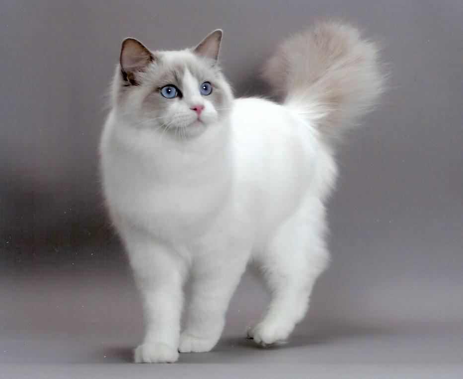 pet shop  Melhores Raças de Gatos para sua Família
