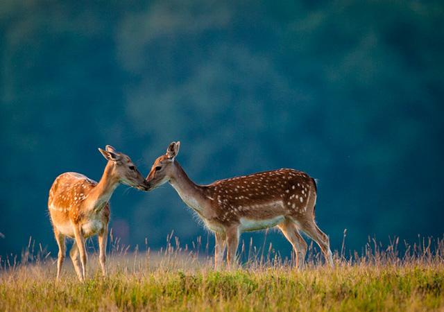 Cute of Deers