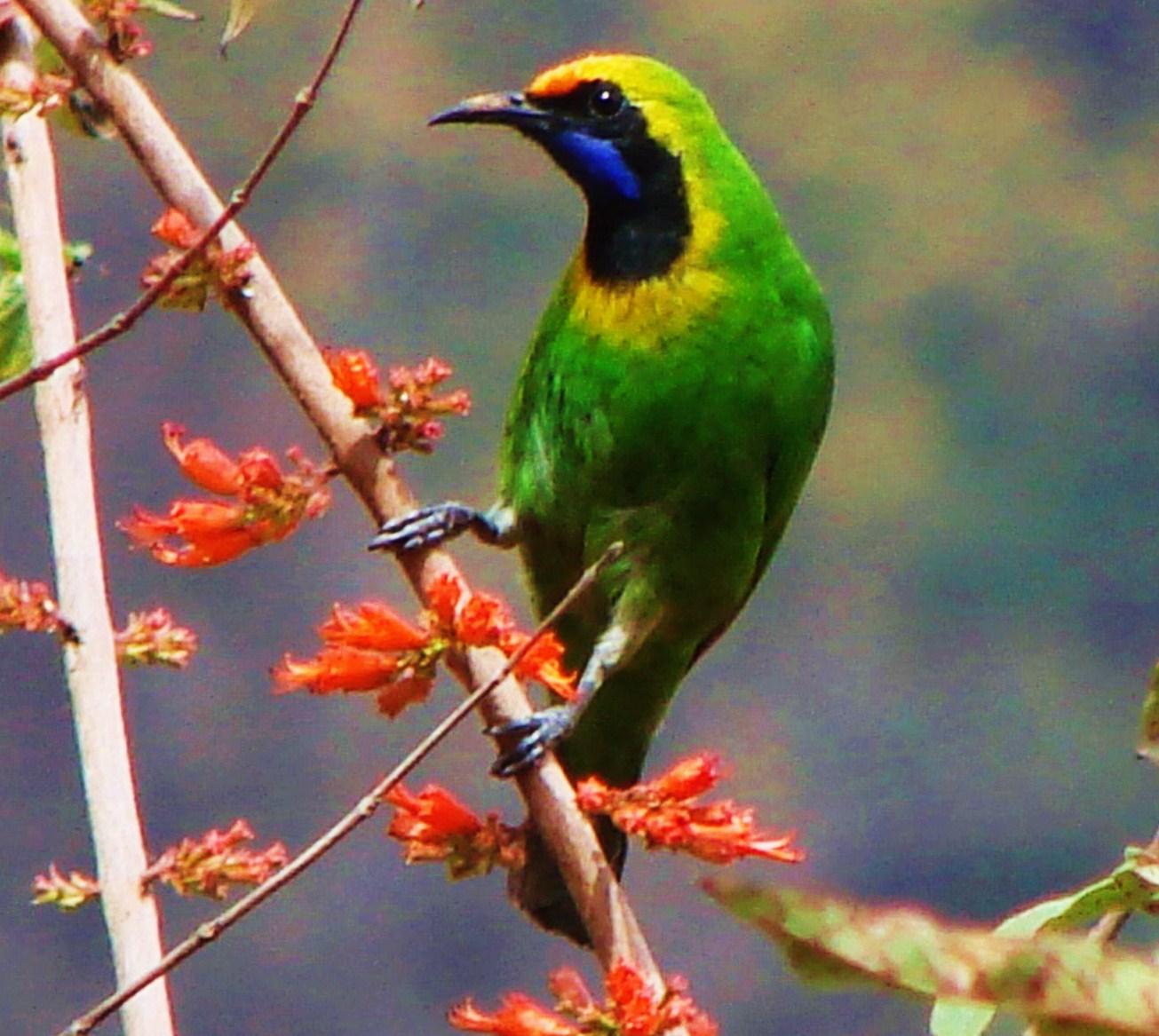 Золотолобый висячий попугайчик фото 6