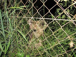 Krugerpark hyena's zijn een familie van middelgrote roofdieren die voorkomen in Afrika en Azië.