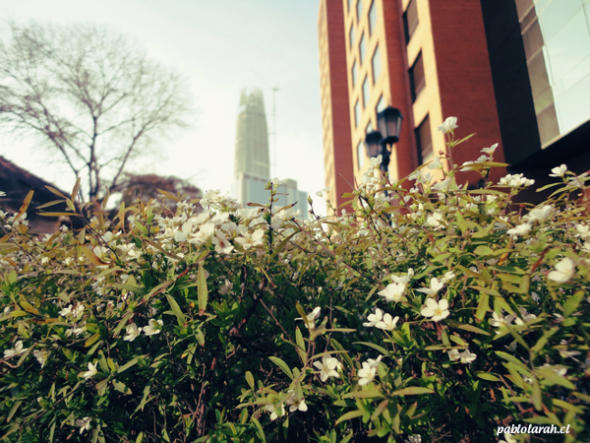 buildings,white flowers,bush,pablolarah,Pablo Lara H Photography,Santiago, Chile