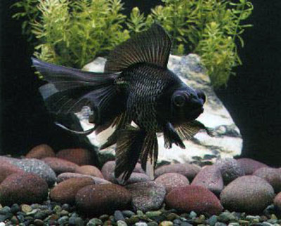 Tropical Paradise Fish: Black Moor Goldfish - Carassius auratus
