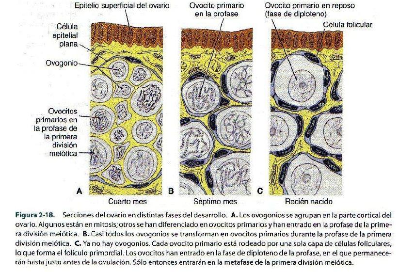 Anatomía e Histología: Embriología